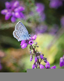 Silver-studded-blue, Butterfly, Insect, Summer