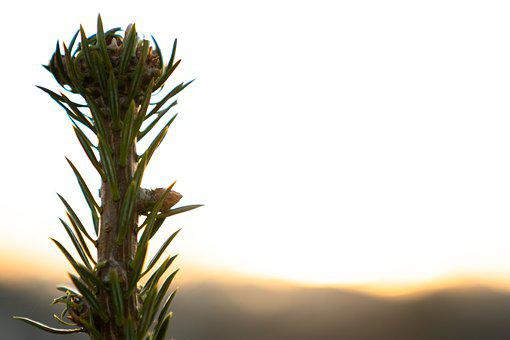 Sun, Plant, Conifer, Background, Web Page