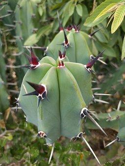 Cacti, Cactus, Thorny, Sting, Green, Thorns