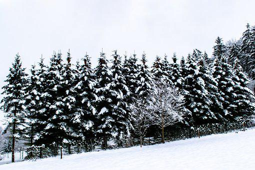 Winter, Forest, Conifers, Snow, Snow-covered Trees