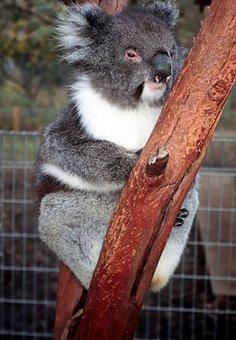 Koala Bear, Australia, Zoo, Downunder, Eucalyptus