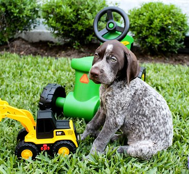 Dog, Puppy, German Short Hair, Animal, Toys, Grass