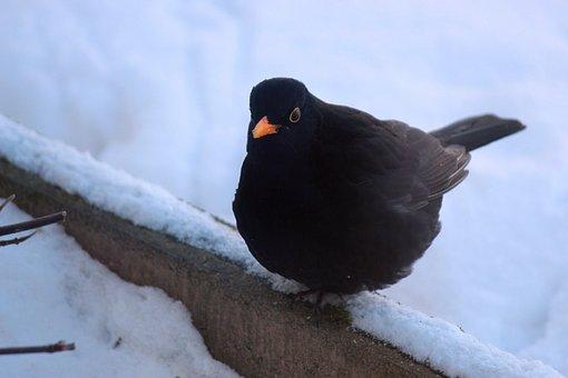 Blackbird, Bird, Animal, Sitting, Songbird, Hunger