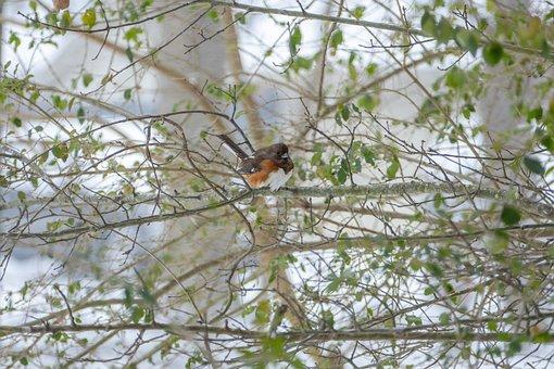Bird, Animal, Nature, Eastern, Towhee, Winter, Snow