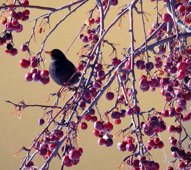 Blackbird, Birds, Animal, Nature, Black, Plumage