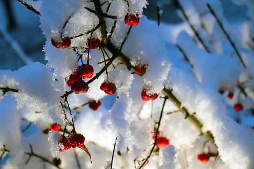 Branch, Berries, Snow, Frost, Hoarfrost, Ice, Winter