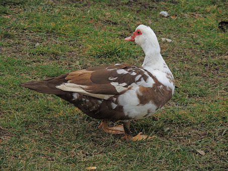 Muscovy Duck, Poultry, Duck, Bird, Animals, Nature