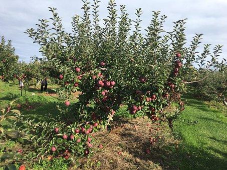 Farm, Apple Farm, Apple Picking Orchard