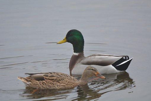 Ducks, Mallard, Bird, Ducklings, Waterfowl, Feathers
