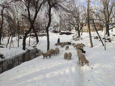 Sheep, Flock Of Sheep, Snow In Kashmir