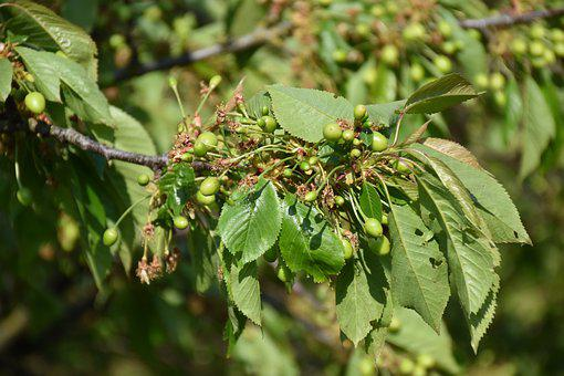 Tree, Green, Cherry, Outdoor, Fruit, Nature, Leaves