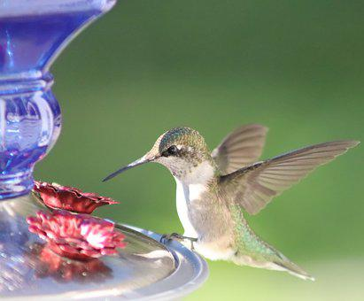 Ruby-throated, Humming, Bird, Green Background