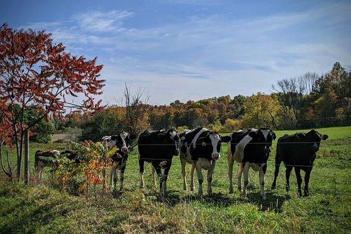 Fall, New York, Ny, Usa, Nature, Farm, Cows