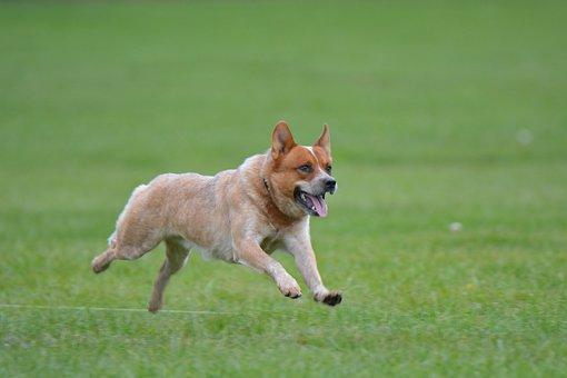 Australian, Cattle, Dog, Pet, Animal, Canine, Breed