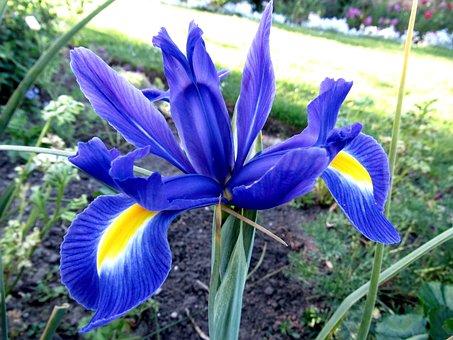 Iris, Bloom, Flora, Petals, Plant, Blossom, Floral