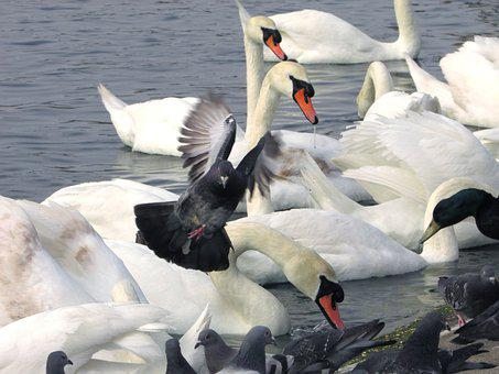 Swans, Pigeons, Lake, Doves, Birds, Waterfowls