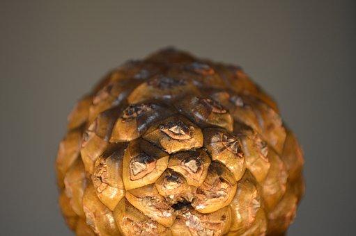 Pine Cone, Pine, Pine Fruit