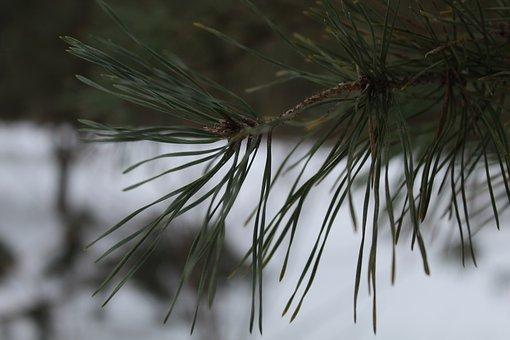 Cone, Pine, Pine Tree, Pine-tree, Christmas, Tree