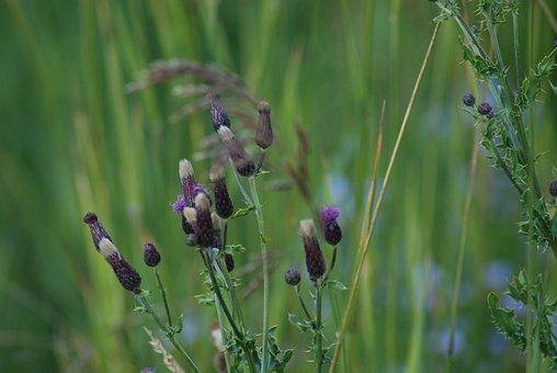 Native Flora, Weed, Wildflower, Purple, Flora, Bloom