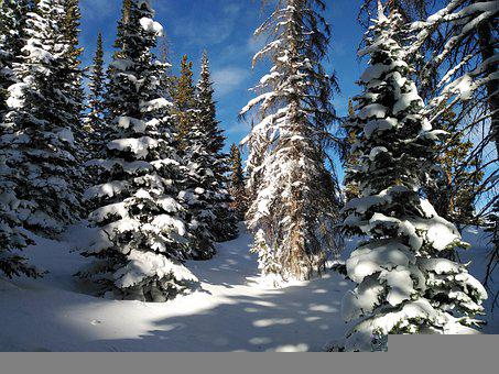 Pinos, Invierno, Nieve, Rockymountains, Colorado
