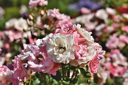 Flowers, Roses, Petals, Rose Bush, Blossom, Bloom
