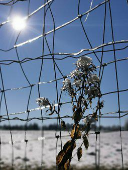 Flower, Winter, Ice, Snow, Sun, Fence