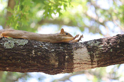 Squirrel, Animal, Branch, Stretching, Rodent, Mammal