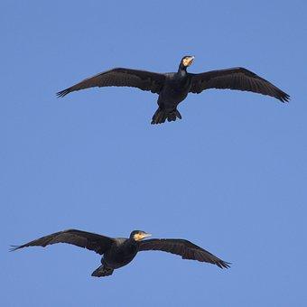 Cormorant, Water Bird, Flying, Plumage, Bird