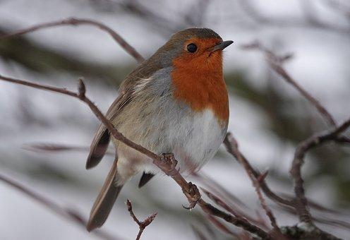Robin, Bird, Winter, Nature, Animal, Songbird, Wildlife