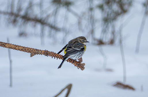 Bird, Animal, Nature, Warbler, Yellow, Rumped, Winter