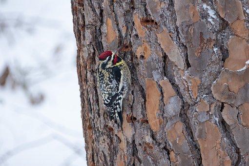 Bird, Animal, Nature, Woodpecker, Yellow, Bellied