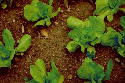 Farm, Farming, Vegetable, Vegetables, Agriculture