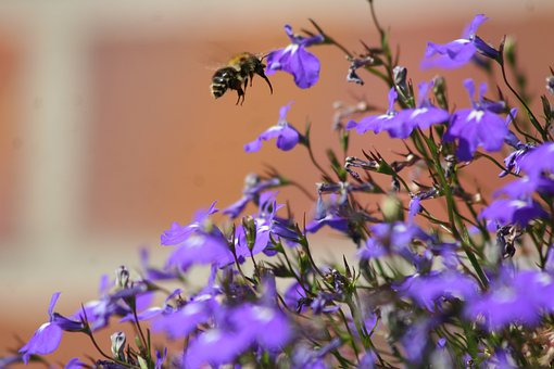 Bellflower, Bee, Garden, Insect, Summer, Bluebells