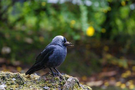 Jackdaw, Bird, Rock, Perched, Animal, Raven, Crow