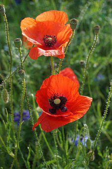 Klatschmohn, Poppy, Poppy Flower, Blossom, Bloom