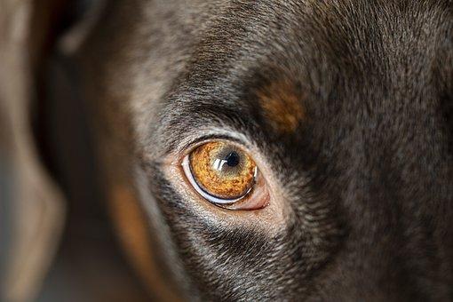 Dog, Eye, Head, Pet, Animal, Domestic Dog, Canine