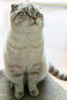 Scottish Fold Cat, Cat, Pet, Scottish Fold, Animal