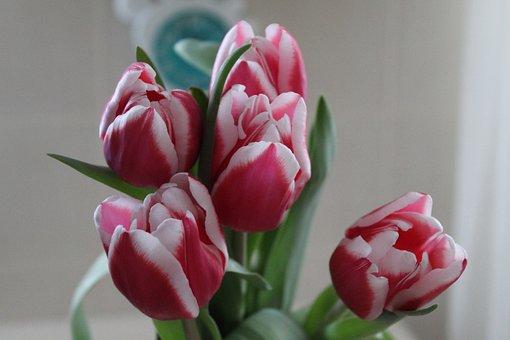 Bouquet, Beautiful, Crimson, Flowers, Tulips, Tulip