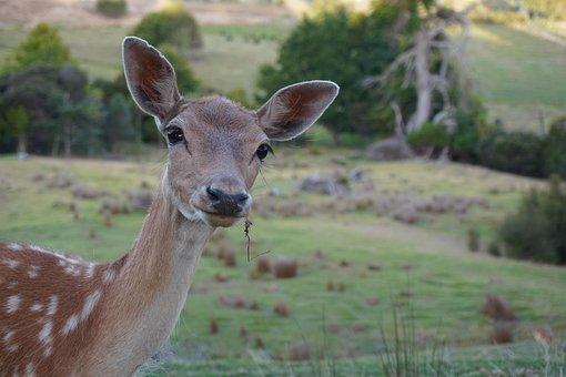Deer, Doe, Hind, Young Deer, Young Hind, Deer Farm