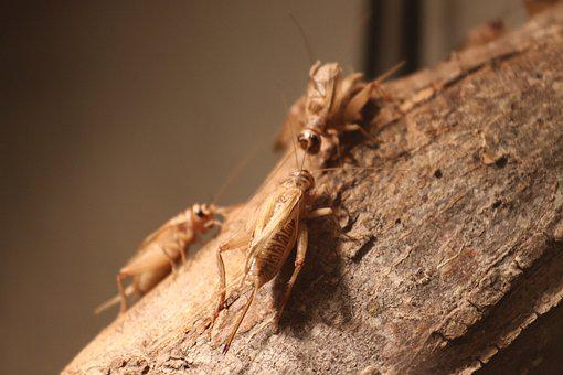 Crickets, Bugs, Insects, Log, Trunk, Entomology