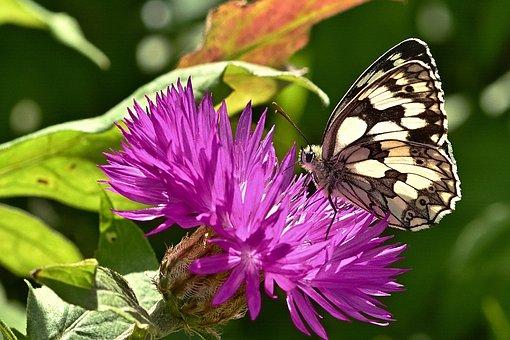 Butterfly, Chessboard Butterfly, Flowers, Cornflower