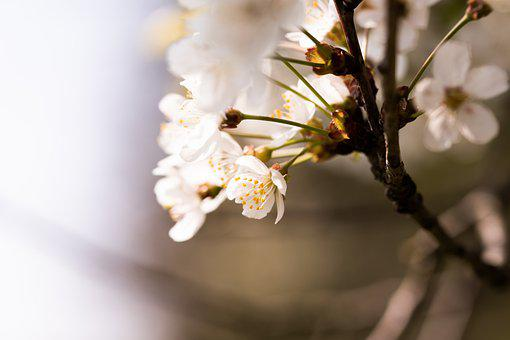 Cherry Blossom, Flowers, Branch, Light