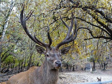 Elk, Autumn, Forest, Nature, Deer, Wild