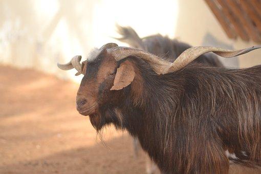 Sheep, Goat, Livestock, Animal, Eye, Face, Ear, Wool