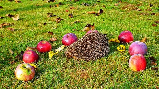 Hedgehog, Animals, Nature, Grass, Mammals, Garden