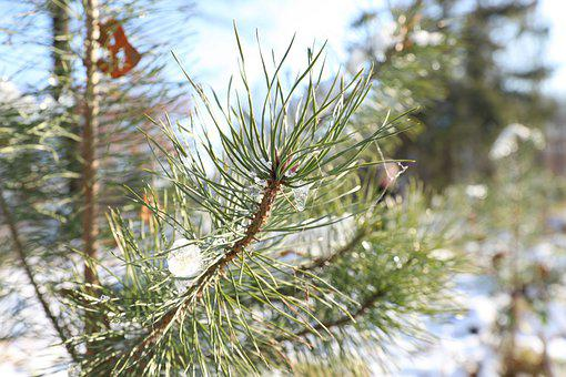 Tree, Branch, Nature, Snow, Green, Pine, Winter, Forest