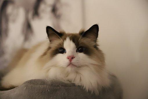 Cat, Hair, Hairy, Animal, Cute, Mammal, Eyes, Gray