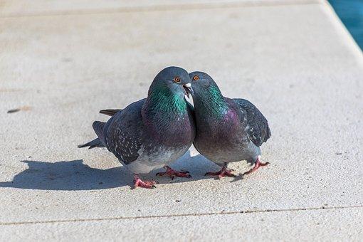 Lovebirds, Smooch, Pigeons, Birds, Kiss, Love