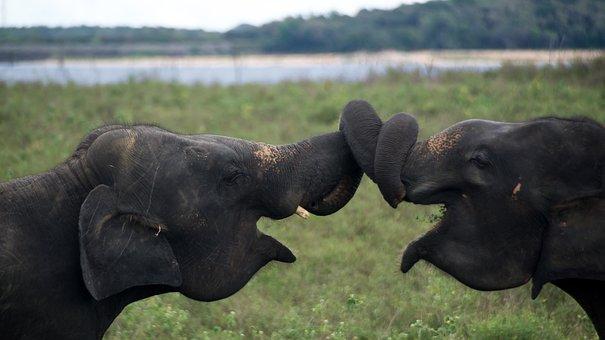 Elephants, Animals, Wildlife, Mammals, Trunks, Safari