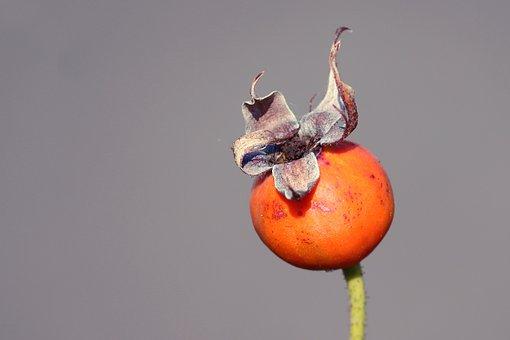 Rose Hip, Autumn, Red, Bush, Autumn Fruits, Nature